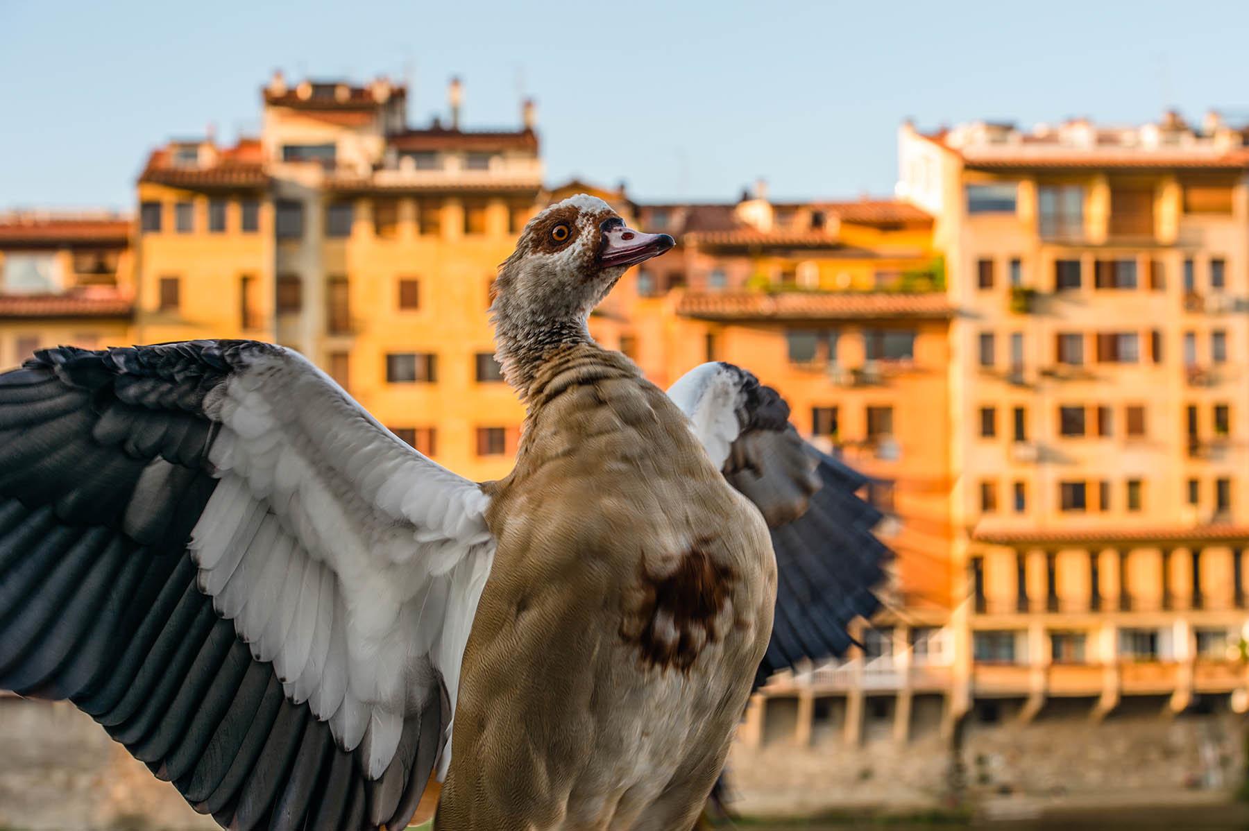 Ptak na Ponte Vecchio we Florencji we WÅ'oszech